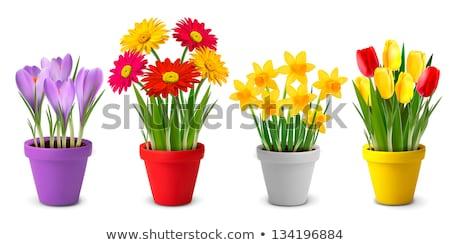 Citromsárga nárciszok piros virágcserép fehér liliom Stock fotó © Marfot