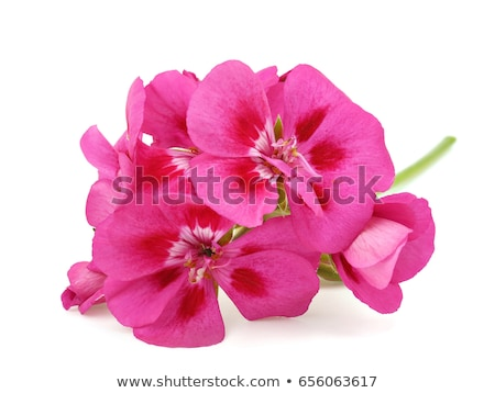 White & Pink Geraniums Stock photo © rghenry