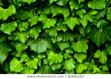 wall covered with dense ivy leaves stock photo © bmonteny