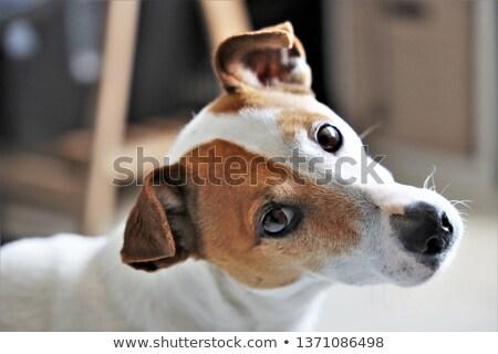 портрет · черный · собака · животного · студию · ПЭТ - Сток-фото © iofoto