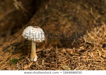 Stock photo: parasol mushroom in the forest