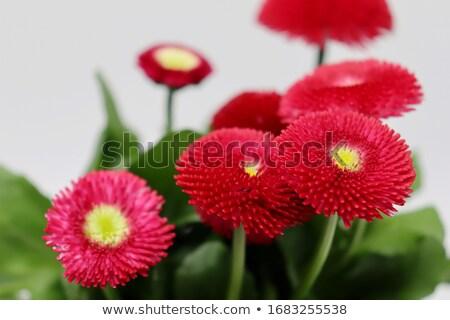 red blossom Stock photo © prill