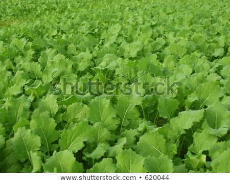 textured turnip field Stock photo © taviphoto