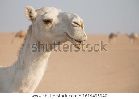 Portre beyaz deve açık havada yüz Stok fotoğraf © OleksandrO
