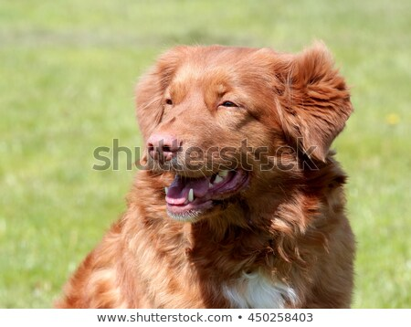 pato · retriever · branco · animal · estúdio · cachorro - foto stock © capturelight