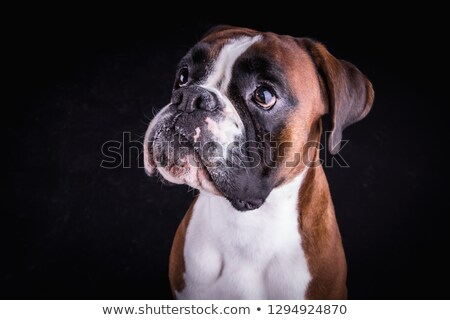 Young Boxer portrait in a black photo studio stock photo © vauvau