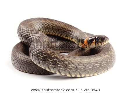 isolated grass snake Stock photo © taviphoto
