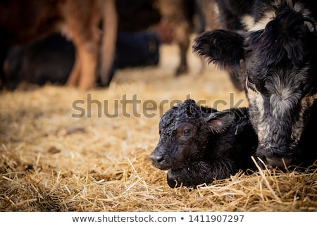New Born Calf Stock photo © rghenry