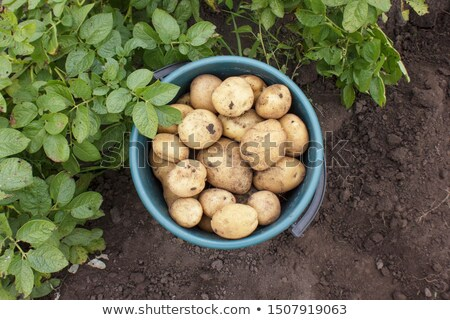 Potatoes in a bucket stock photo © Hofmeester
