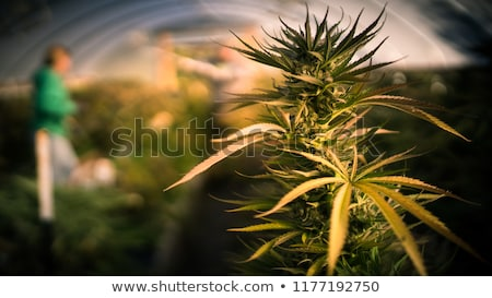 Californie marijuana pot droit symbole Photo stock © Lightsource