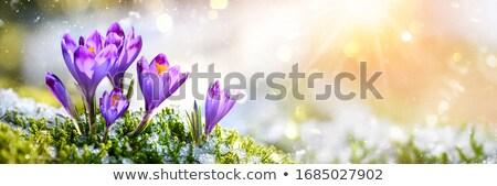 çiğdem çiçekler sınır çim şeffaf eğim Stok fotoğraf © barbaliss