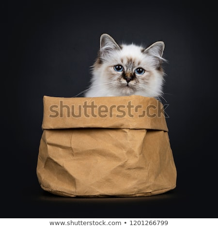 Cute tabby point Sacred Birman cat kitten Stock photo © CatchyImages