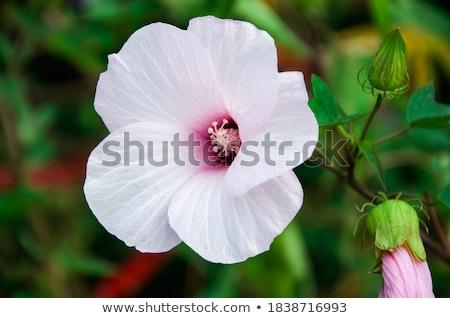 Leylak rengi ebegümeci çiçek grunge yalıtılmış beyaz Stok fotoğraf © sifis