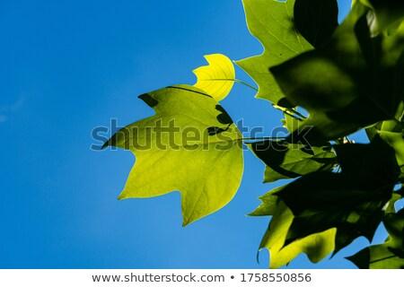 Yellow sheet poplar, blue sky Stock photo © RuslanOmega