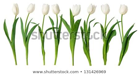 Tulpen geïsoleerd witte liefde verjaardag schoonheid Stockfoto © Raduntsev