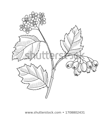 spring hawthorn blossom Stock photo © smithore