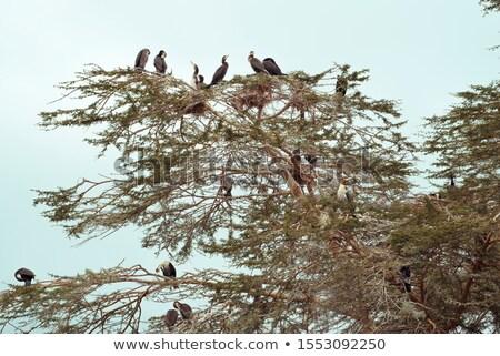 Cormorants on treetop Stock photo © prill