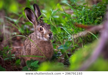 Baby Lop Ear Rabbit eating Lettuce stock photo © pixelmemoirs