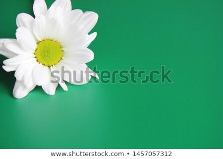 Krizantem yeşil çiçekli çiçek doğa Stok fotoğraf © pzaxe