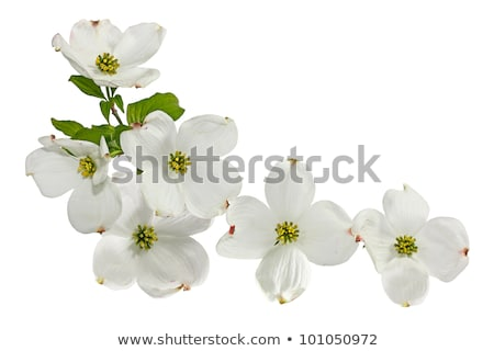White dogwood flower Stock photo © Melpomene