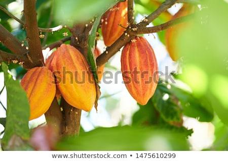 Cocoa pod hanging on a tree Stock photo © haraldmuc