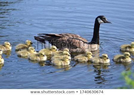 Foto stock: Canadá · ganso · sessão · grama · lagoa · lago