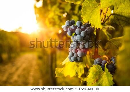 fresco · uva · videira · brilhante · luz · do · sol · verão - foto stock © lunamarina