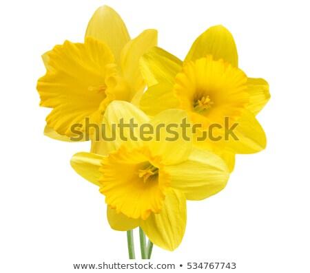 黄色 スイセン 白 クローズアップ 美しい 長い ストックフォト © cosma