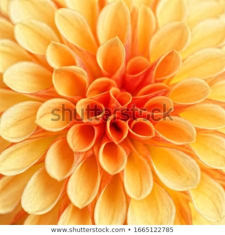 美しい ダリア 花壇 自然 庭園 ストックフォト © meinzahn