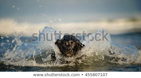feliz · preto · cão · verão · natureza - foto stock © c-foto