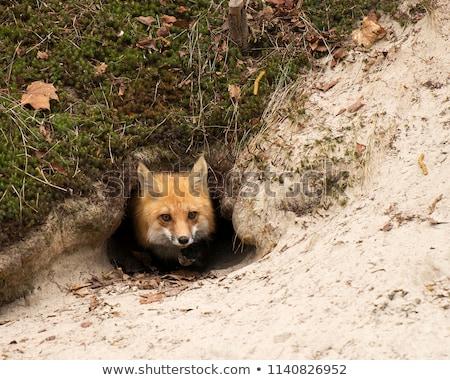 rojo · Fox · entrada · saskatchewan · naturaleza - foto stock © dar1930