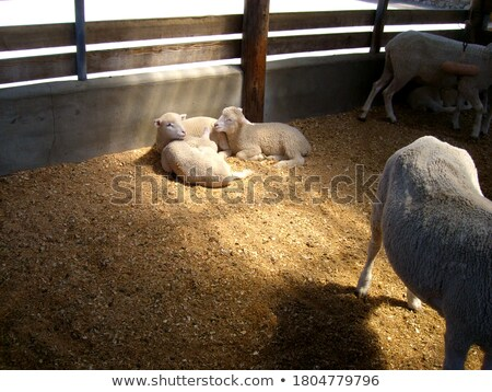 Stock photo: come to light little sheep