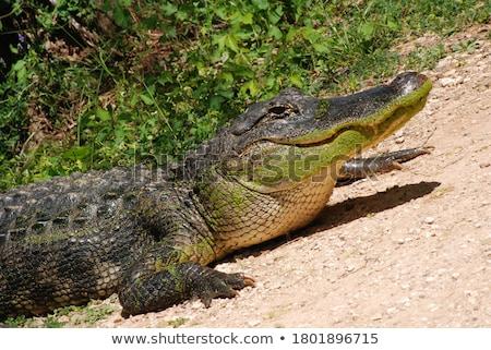 aligátor · fej · közelkép · vad · szem · fű - stock fotó © oleksandro