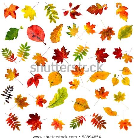 duży · jesienią · klon · drzew · żółty · pozostawia - zdjęcia stock © tetkoren