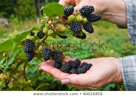Blackberry harvest collecting Stock photo © zurijeta