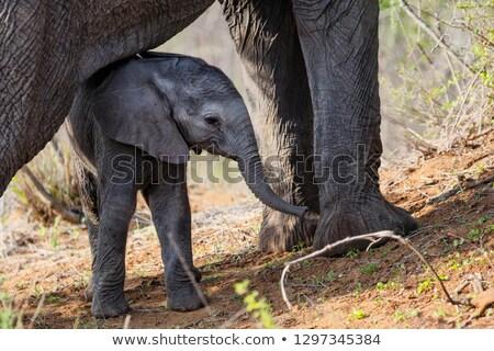 Fiatal elefánt lábak anya baba játék Stock fotó © simoneeman