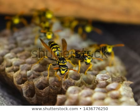 Nest of a family of wasps Stock photo © mady70