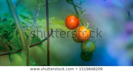 Fresh ripe tomatoes stock photo © user_11056481