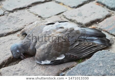 dead pigeon Stock photo © Digifoodstock