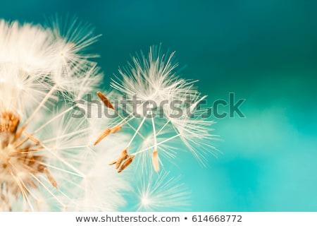 Semente dandelion grão queda terra verão Foto stock © Olena