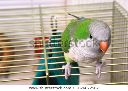 Monge gaiola gaiola branco pássaro verde Foto stock © cynoclub
