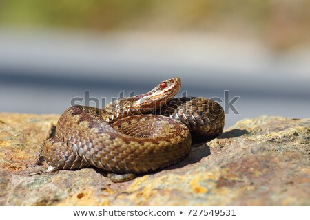 Vipera berus standing on a stone in natural habitat Stock photo © taviphoto