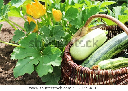 Courgette planten bloesem tuin bed vol Stockfoto © Virgin
