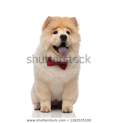 seated chow chow wearing bowtie panting and looking to side Stock photo © feedough