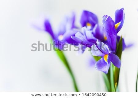iris · çiçek · vektör · doğa · arka · plan · yaz · renk - stok fotoğraf © colematt
