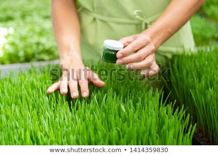 Buğday çimi iki yüzlü çim yeşil buğday genç Stok fotoğraf © Kzenon