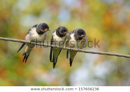 Birds on a wire #3 Stock photo © robStock