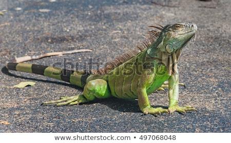Grande verde iguana rocha floresta Foto stock © galitskaya
