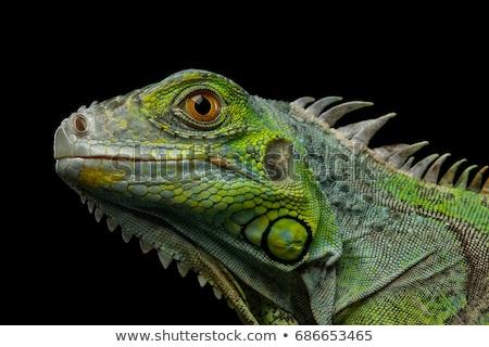 Kafa sürüngen genç yeşil iguana Stok fotoğraf © oksanika
