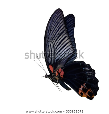 Big swallowtail butterfly flying Stock photo © Ansonstock
